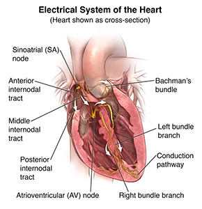 Anatomy and function of the hearts electrical system bombay hospital the hearts electrical system ccuart Images
